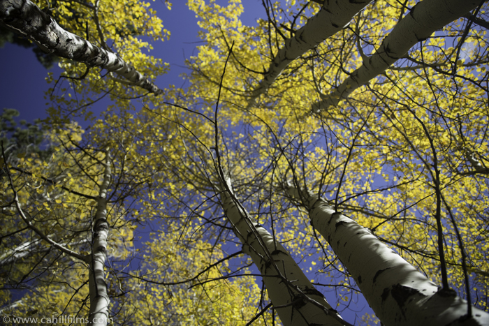 Fall colors, Marlette Lake Aspen Grove