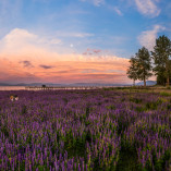 Lake Tahoe _ Wildflowers _ Lupine Sunset